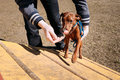 Funny cute miniature pinscher pincher brown outdoor on agility training Stock Photography