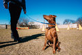 Funny cute miniature pinscher pincher brown outdoor on agility training Royalty Free Stock Images