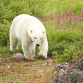 Funny and cute polar bear canadian walking in the colorful arctic tundra of the hudson bay near churchill manitoba in summer Stock Image