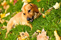 Funny dachshund puppy lay on green grass Stock Photography