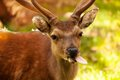 Funny deer close up view of young putting out its tongue Stock Images