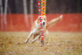 Funny dog in agility Royalty Free Stock Photo