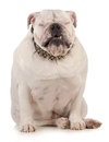 Funny dog english bulldog with silly expression sitting on white background Royalty Free Stock Photos