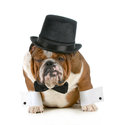 Funny dog grumpy looking bulldog dressed up in a tophat and black tie isolated on white background Royalty Free Stock Photo