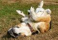 Funny dog on his back Royalty Free Stock Photo