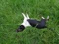 Smiešny pes spočíva zelená tráva