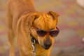 Funny dog in red sunglasses in summer day park Stock Image