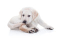 Funny dog tail labrador retriever puppy chewing Royalty Free Stock Photo