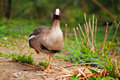 Funny duck standing on one leg lesser white fronted goose anser erythropus Royalty Free Stock Photography