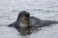 Funny elephant seals Royalty Free Stock Photo