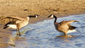 Funny expressive talk between two Canada geese Royalty Free Stock Photo