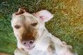 Funny face of brown labrador dog
