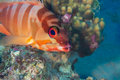 Funny fish close up portrait tropical coral reef scene underwa underwater photo Royalty Free Stock Photo