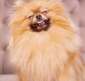 Funny and fluffy pomeranian sitting on a chair Royalty Free Stock Photos