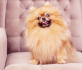 Funny and fluffy pomeranian sitting on a chair Stock Photo