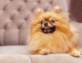 Funny and fluffy pomeranian sitting on a chair Stock Photos