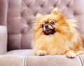 Funny and fluffy pomeranian sitting on a chair Royalty Free Stock Photo