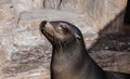 Funny Fur Seal Royalty Free Stock Photo