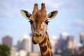 Funny giraffe expression in the city photographed at taronga zoo in sydney australia Stock Photo