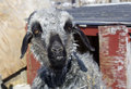 Funny goat a horizontal picture of a looking smiling grey angora Stock Photo