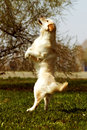Funny Golden Retriever dog playing and jumping in the summer Royalty Free Stock Photo