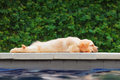 Funny golden retriever labrador puppy lying stretched at poolside Royalty Free Stock Photo