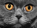 Funny gray British cat Royalty Free Stock Images