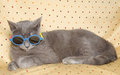 Funny gray British cat with sunglasses Royalty Free Stock Photo