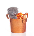 Funny grey kitten in a basket Royalty Free Stock Image