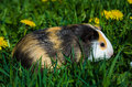 Funny guinea pig Royalty Free Stock Photo