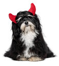 Funny havanese dog as a little christmas devil with horns cute sitting bichon red isolated on white background Stock Photo