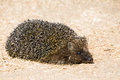 Funny hedgehog closeup of on sawdust background side view Royalty Free Stock Photo