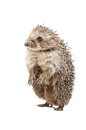 Funny hedgehog standing on his hind legs isolated a white background Stock Images