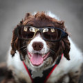 Funny hipster dog wearing sunglasses smiling panting and Stock Photo