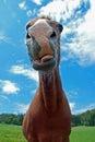 Funny horse Royalty Free Stock Photo