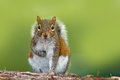 Funny image from wild nature. Gray Squirrel, Sciurus carolinensis, cute animal in the forest ground, Florida, USA. Squirrel sittin