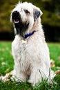 Funny irish soft coated wheaten terrier Stock Photos
