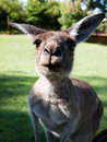 Funny kangaroo Stock Photos