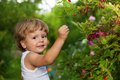 Funny kid picking up red currants Stock Photos