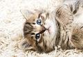 Funny kitten in carpet Royalty Free Stock Photo
