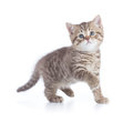 Funny kitten cat standing front view Royalty Free Stock Photo