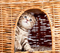 Funny kitten sitting inside wicker cat house Royalty Free Stock Image
