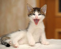 Funny kitten yawns little lying down and yawning Royalty Free Stock Photography