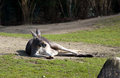 Funny laying kangaroo outdoor on green grass lawn background Royalty Free Stock Images