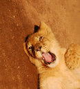 Funny lion cub Stock Photos