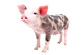 Funny little pig standing in full length isolated on white background Stock Photo