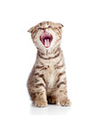 Funny little yawning Scottish fold kitten Stock Images