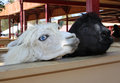 Funny llama two looking at the barn Royalty Free Stock Photo
