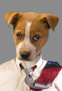 Funny looking doggy big headed wearing tie Stock Photos