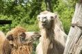 Funny looking Lamas